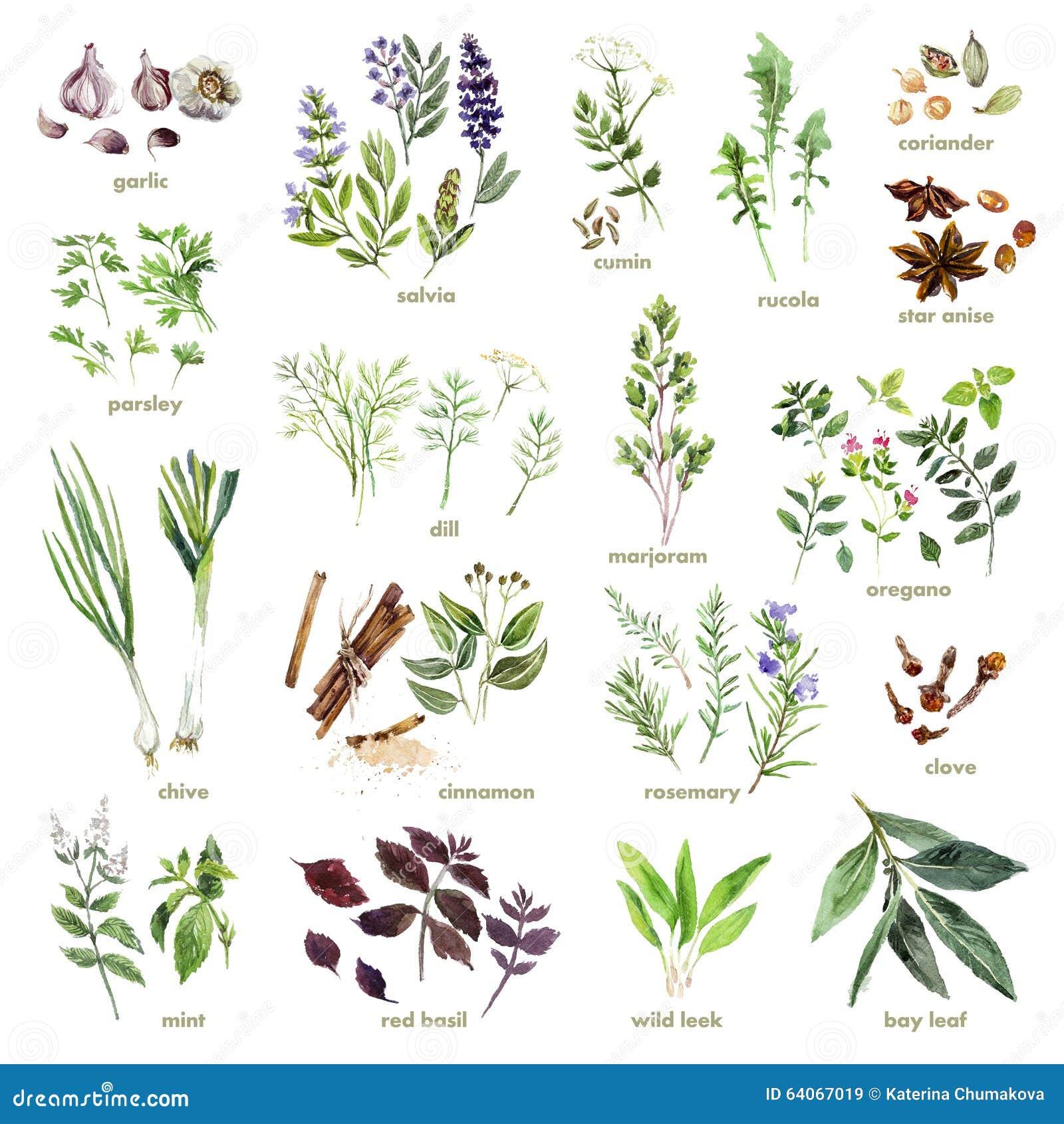 Kolekcja akwareli ręki rysujący ziele na białym tle