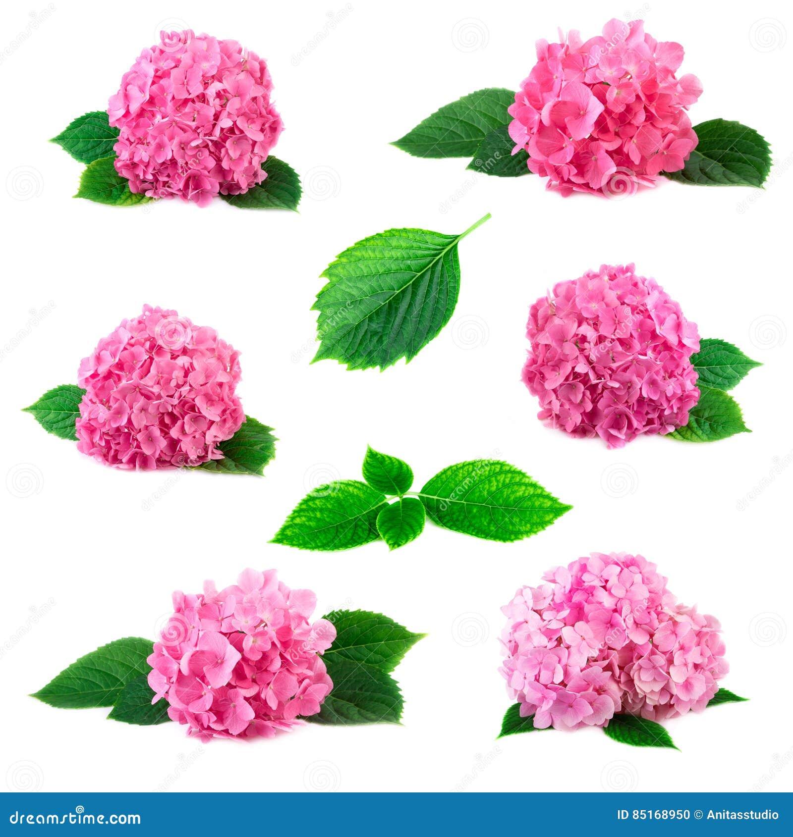Kolekcja hortensi hortensia kwiaty z zieleń liśćmi odizolowywającymi na bielu Różowi flowerheads hortensi ustalony coll