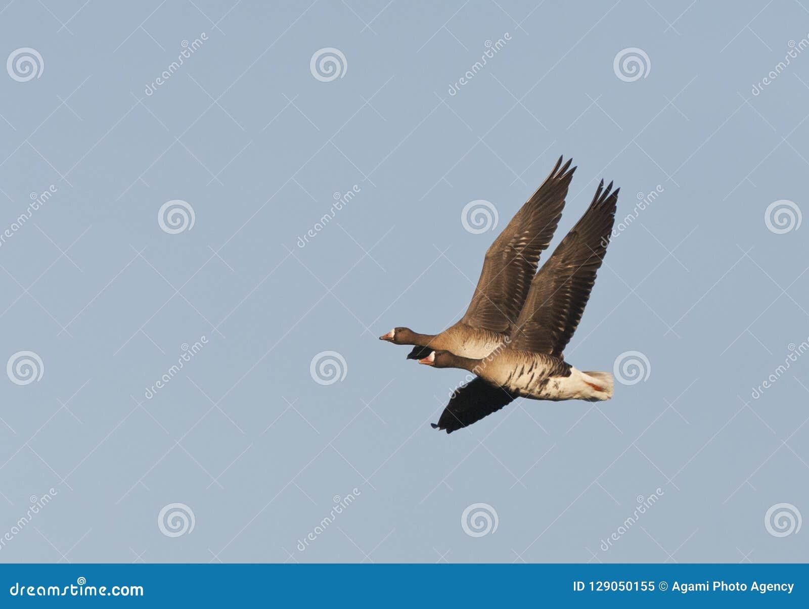 Kolgans, White-fronted Goose, Anser albifrons