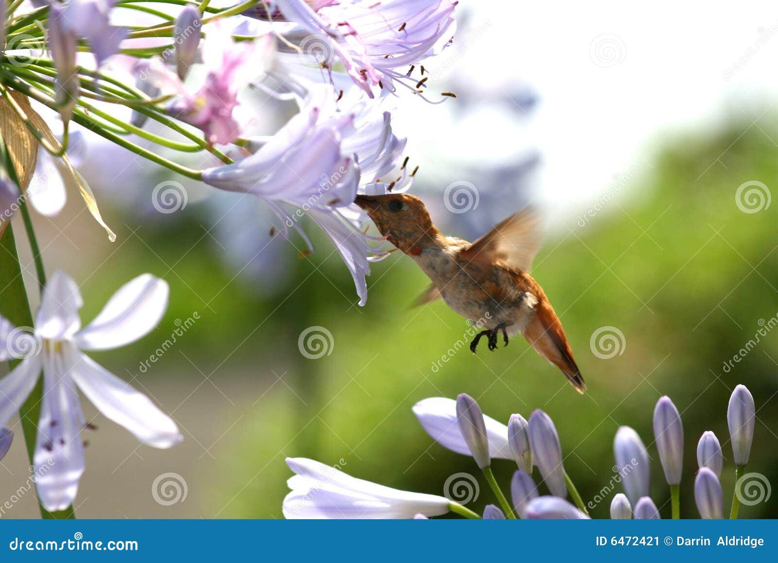 Koliber głodny
