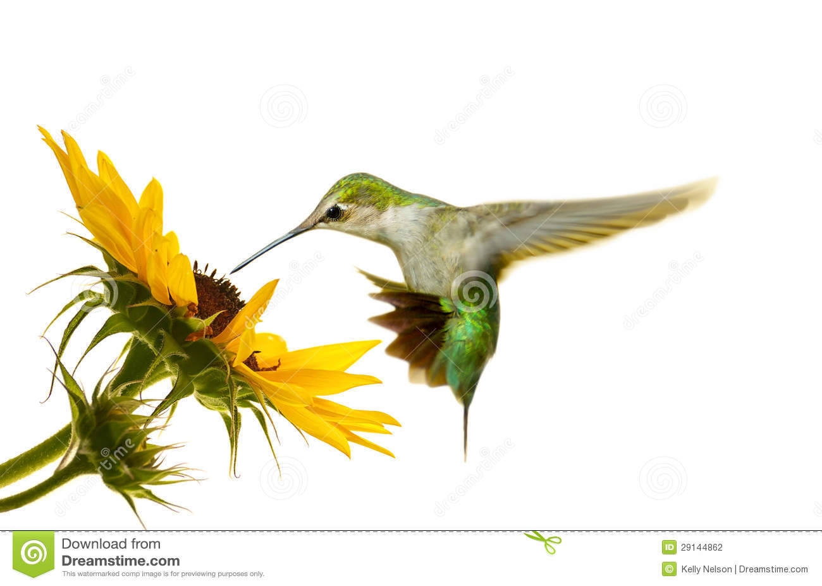 Kolibrie.