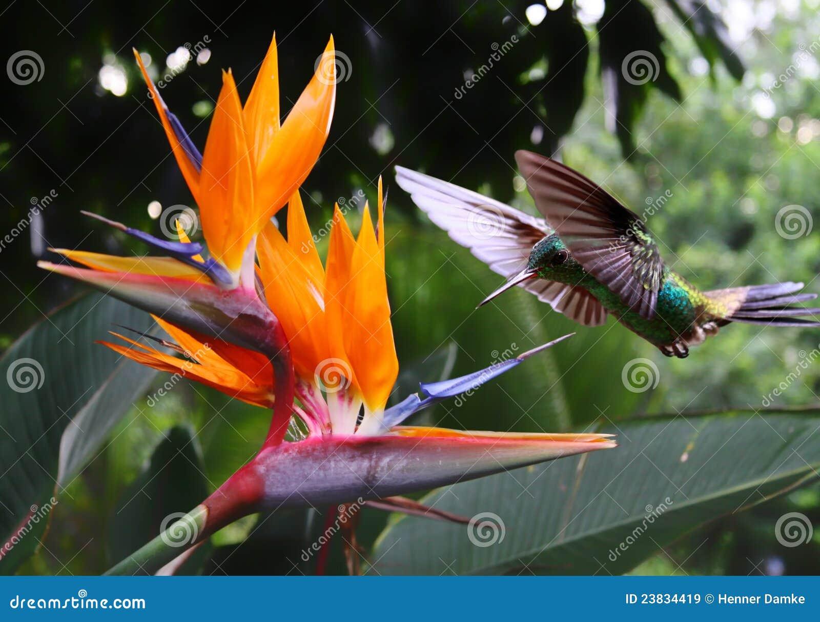 Kolibrie bij bloem