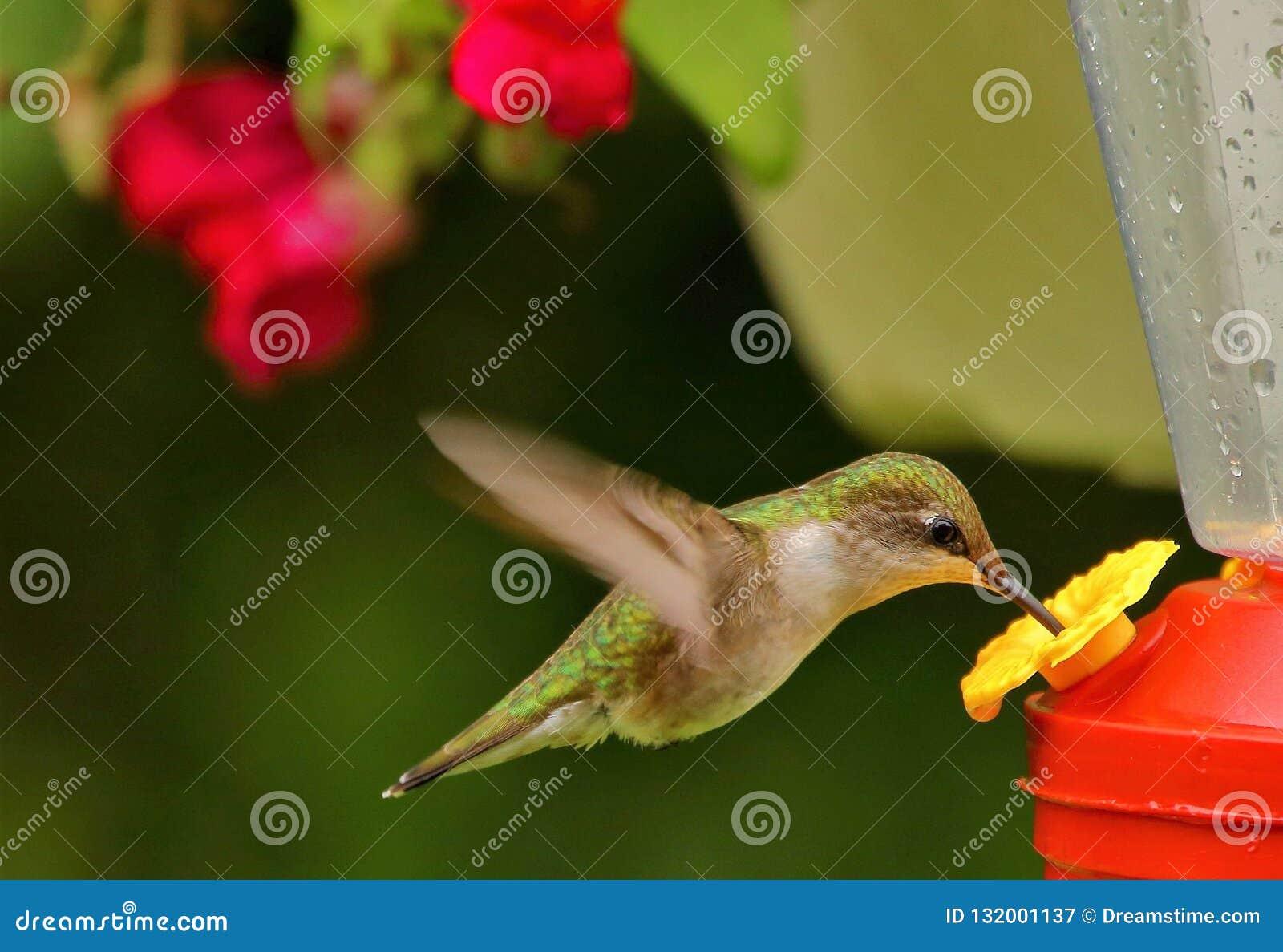 Kolibrie die van de nectar genieten