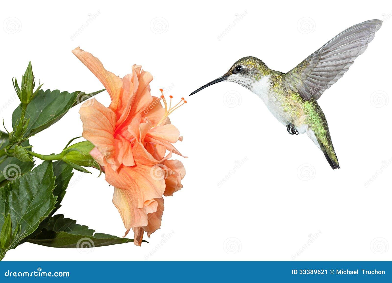 Kolibrie en Hibiscus