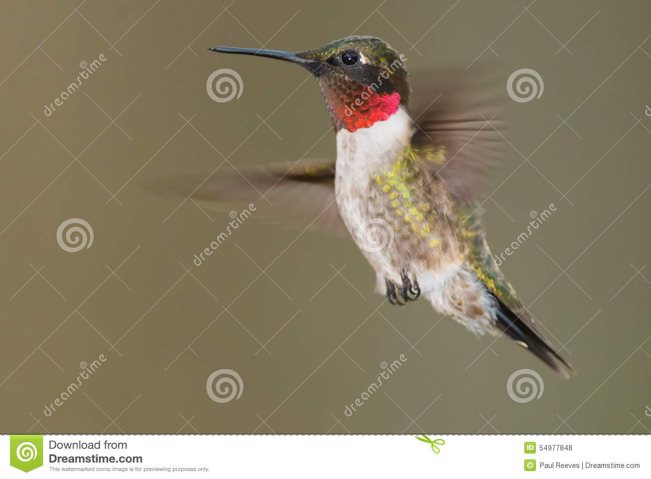 Kolibrie robijnrood-Throated