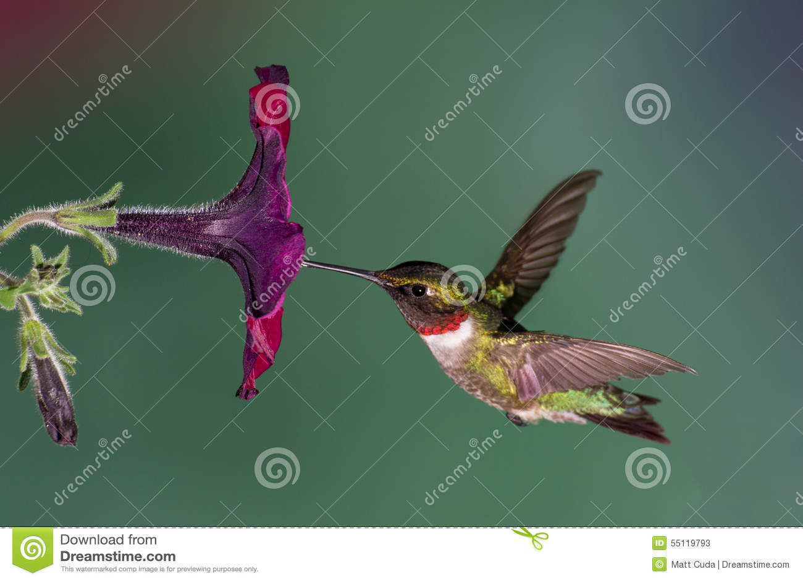 Kolibrie robijnrood-Throated