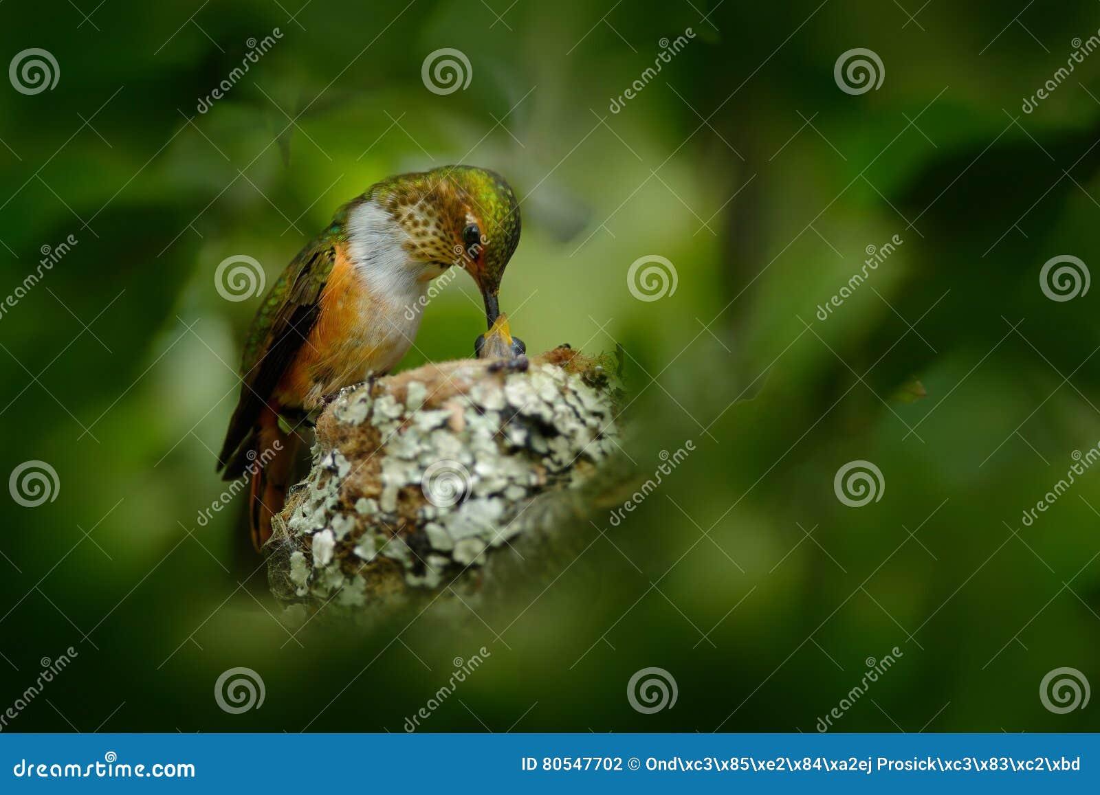 Kolibrienest met jongelui Volwassen kolibrie die twee kuikens in het nest voeden Scintillant Kolibrie, Selasphorus-scintilla, Sav