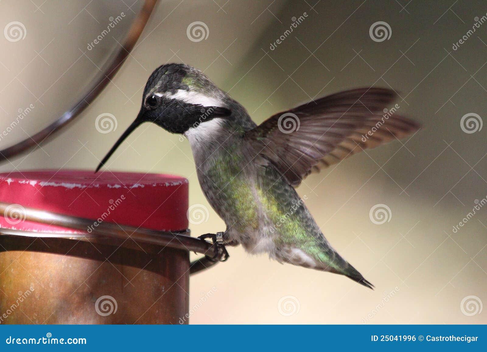 Kolibrin doppar näbb i förlagematare