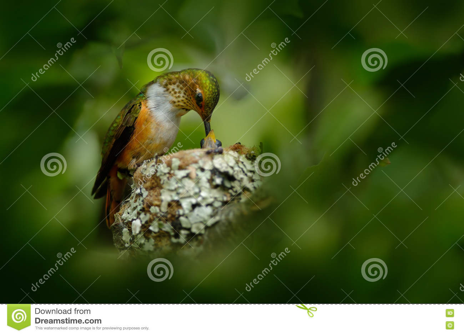 Kolibrirede med barn Vuxen kolibri som matar två fågelungar i den Scintillant kolibrin för rede, Selasphorus scintilla, Sav