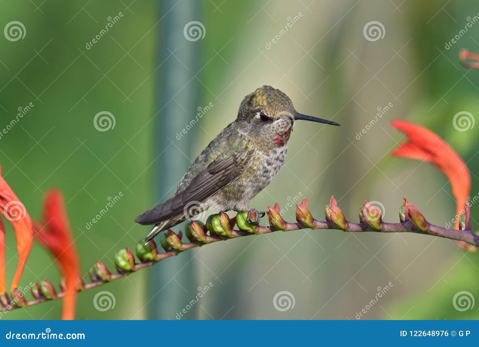 Kolibrisammanträdet på blomman