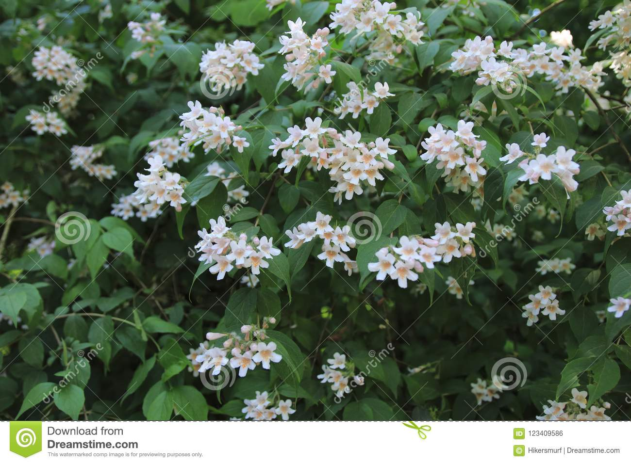 Kolkwitzie Mother Of Pearl Shrub With White Pink Flowers In May