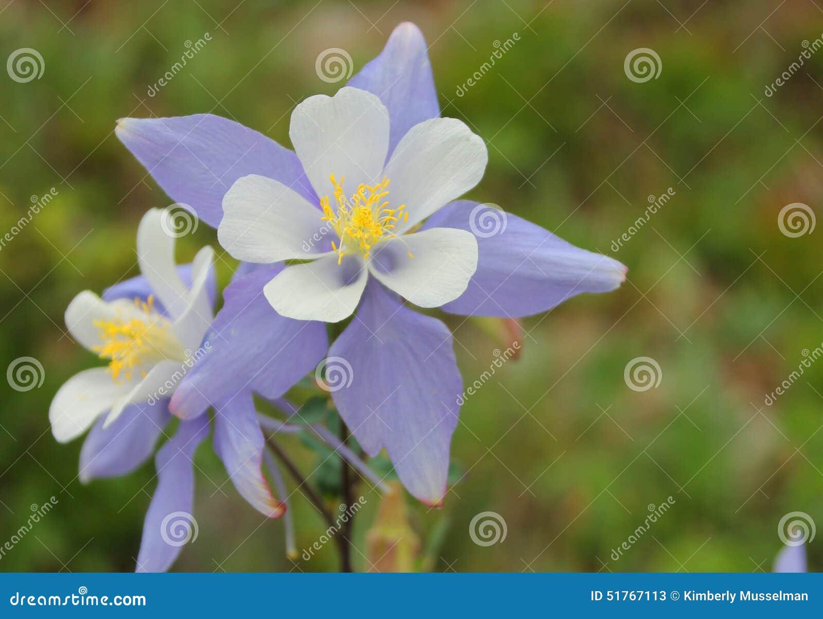 Kolombina kwiat