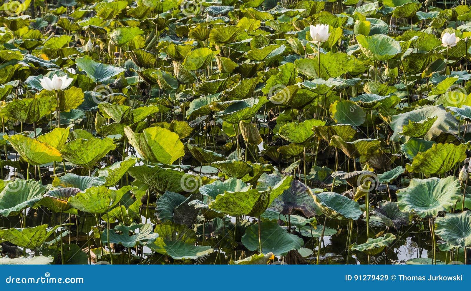 Koloni av lotusblommablommor