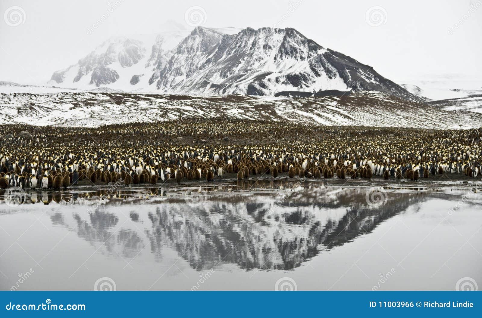 Koloni królewiątka halny pingwin odbijający