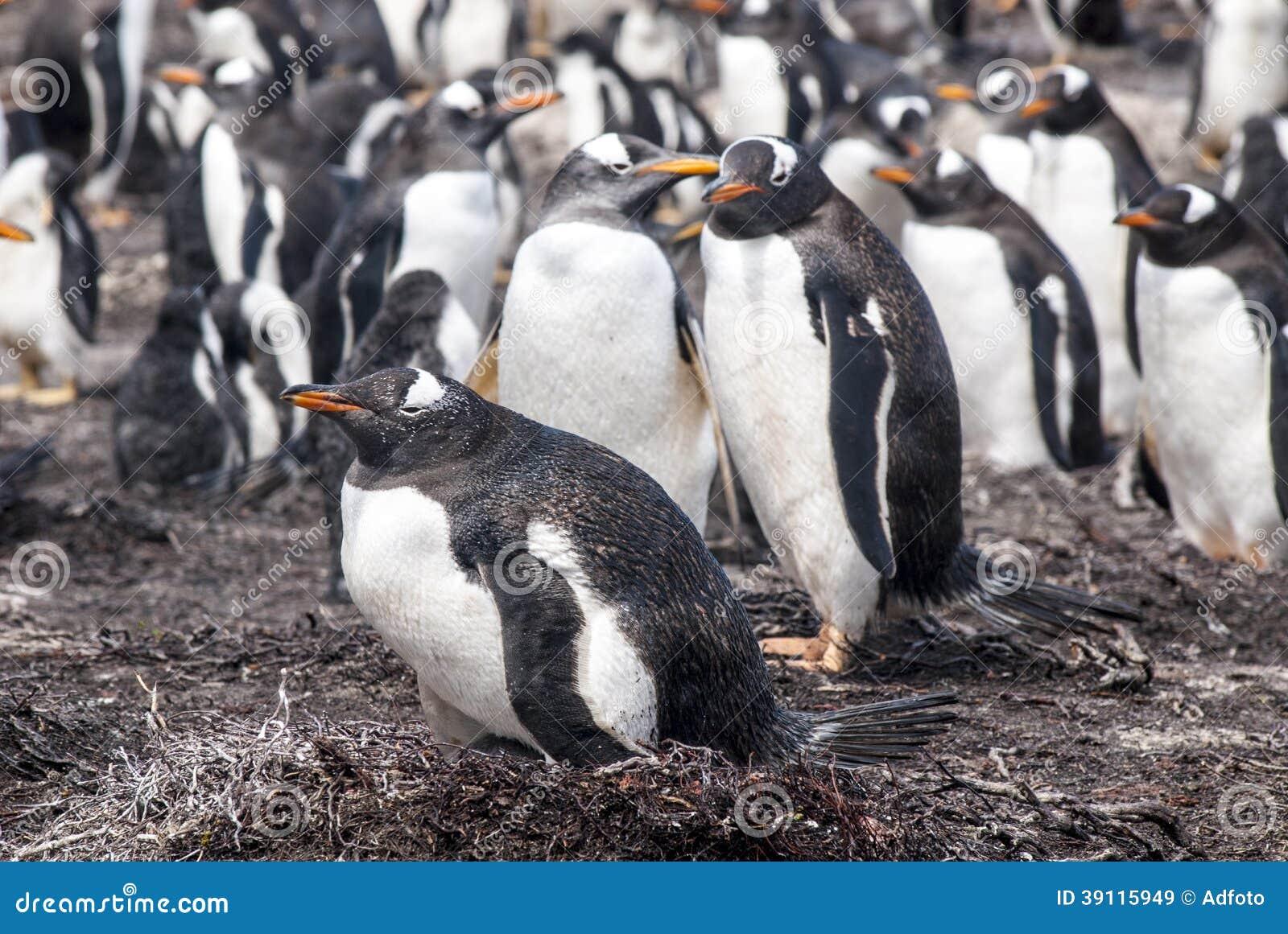 Kolonie van Gentoo-Pinguïn - Falkland Islands