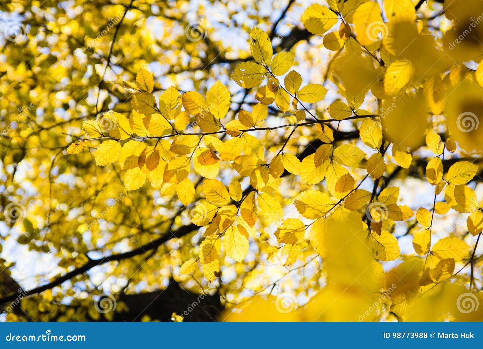 Kolorów żółtych liście w świetle słonecznym w jesień lesie