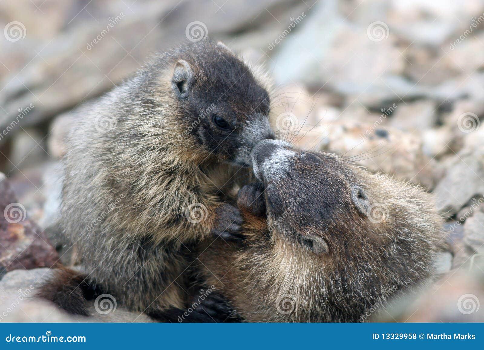 Kolor żółty flaviventris świstaka marmota kolor żółty