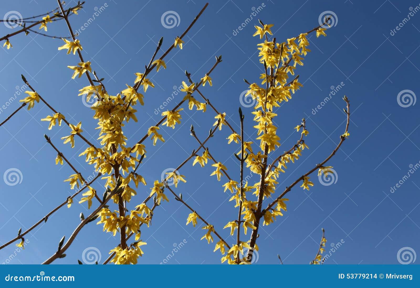 Kolor żółty kwitnie forthysia