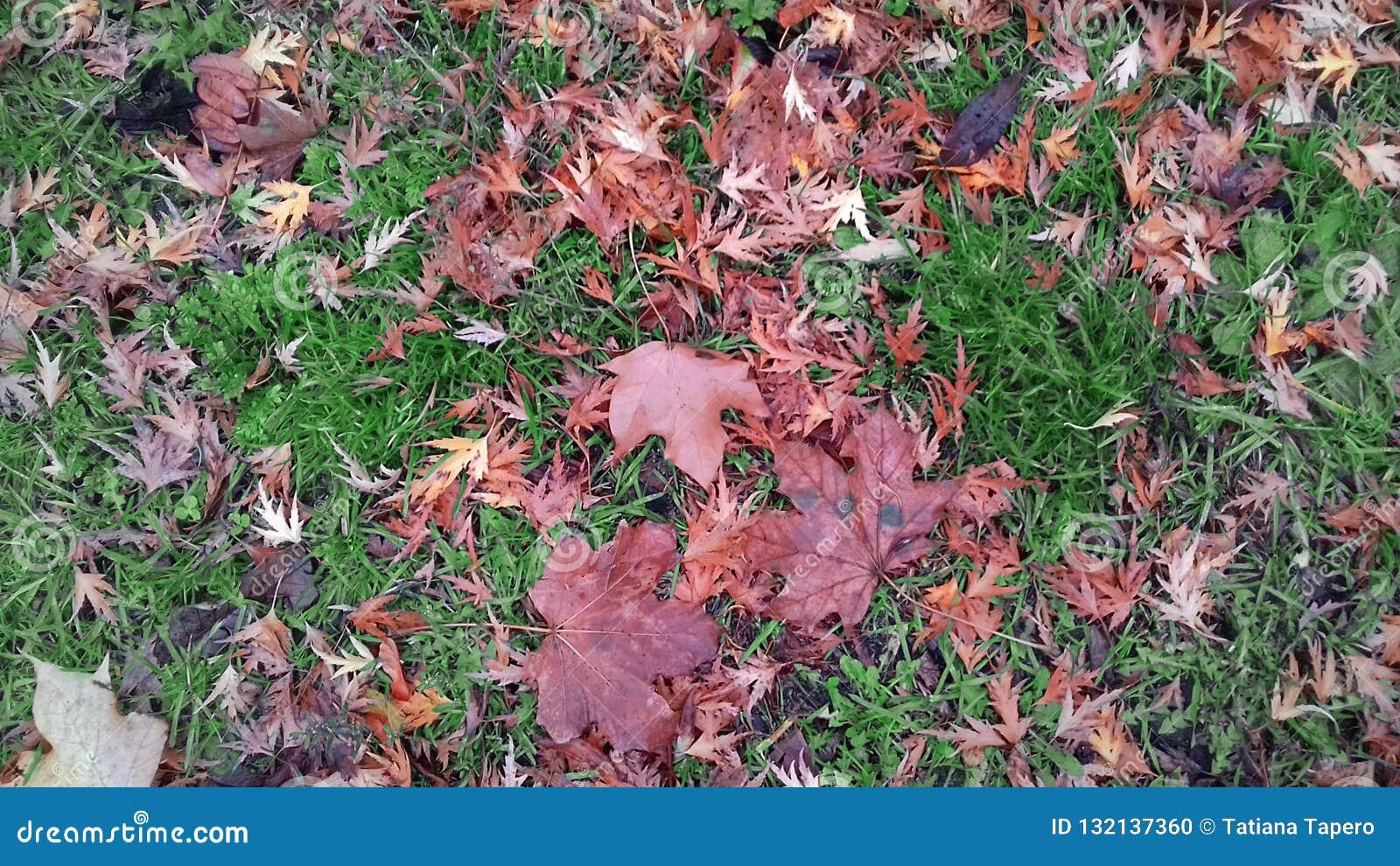 Kolor żółty opuszcza na zielonej trawie w wczesnej jesieni w Polska