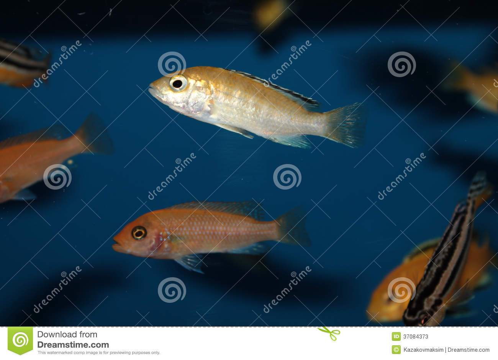 Download Kolor żółty Przekształcać Się Labidochromis Caeruleus Akwarium Ryba Obraz Stock - Obraz złożonej z akwaria, cytryna: 37084373