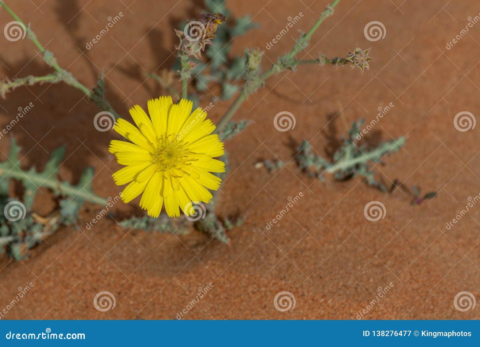 Kolor żółty pustyni kwiat w kwiacie w Zjednoczone Emiraty Arabskie