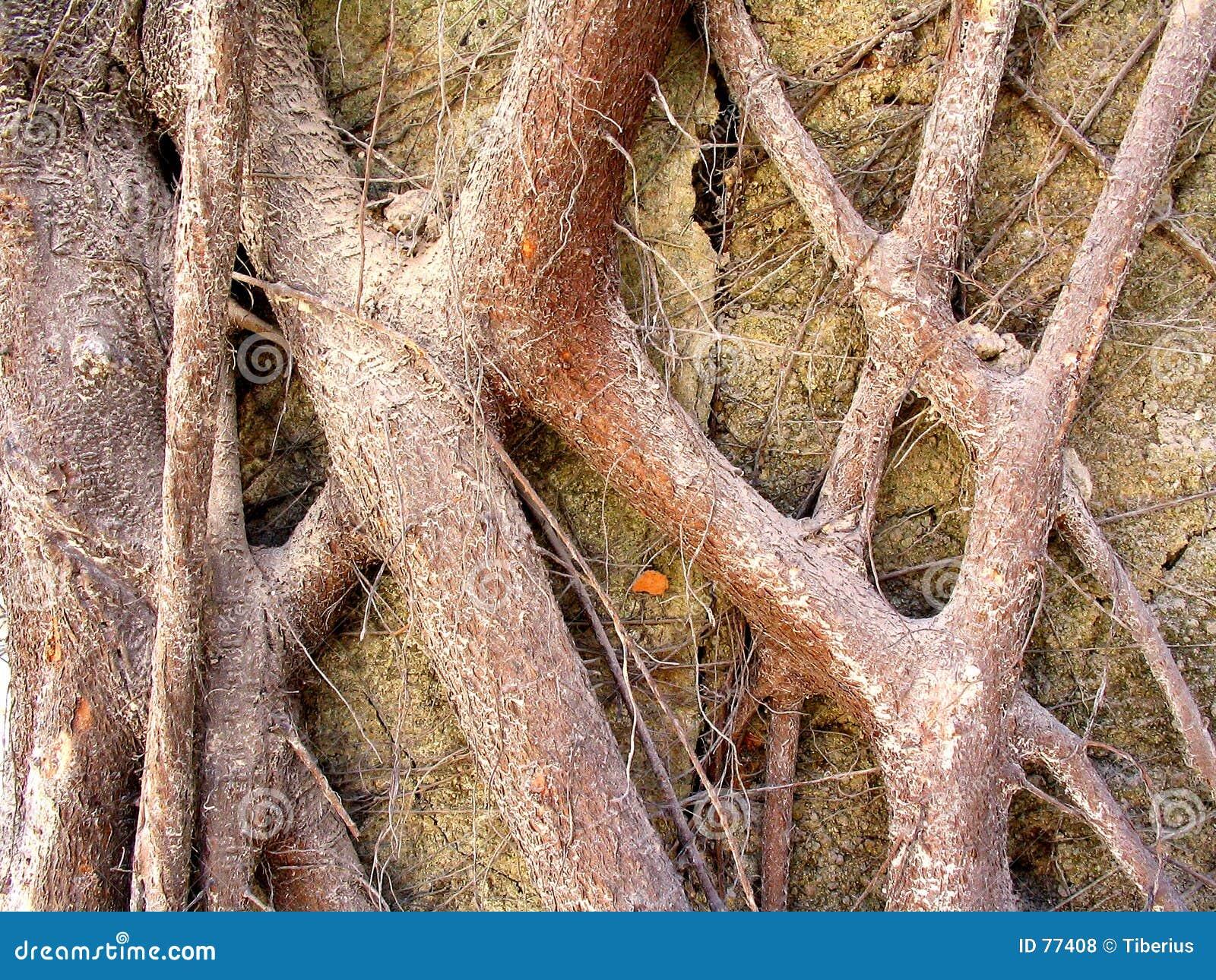 Kolor korzenie