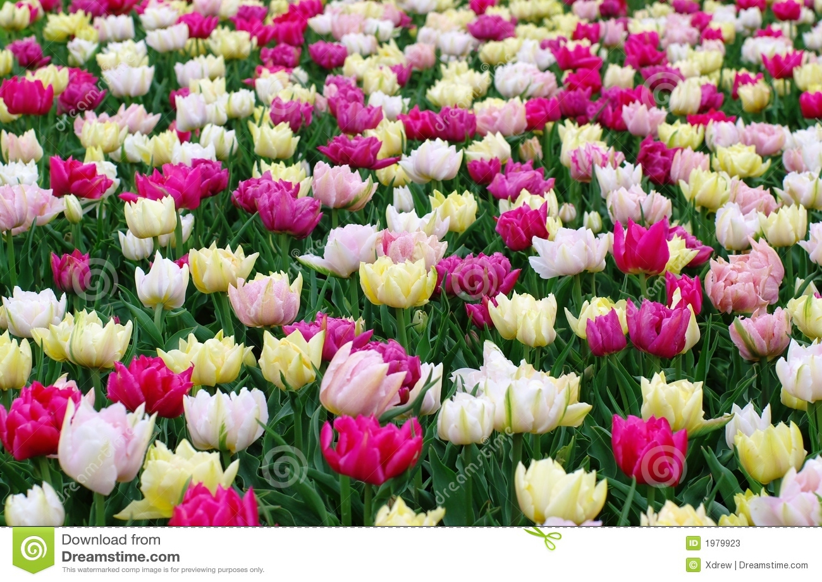 Kolor tulipany polowe