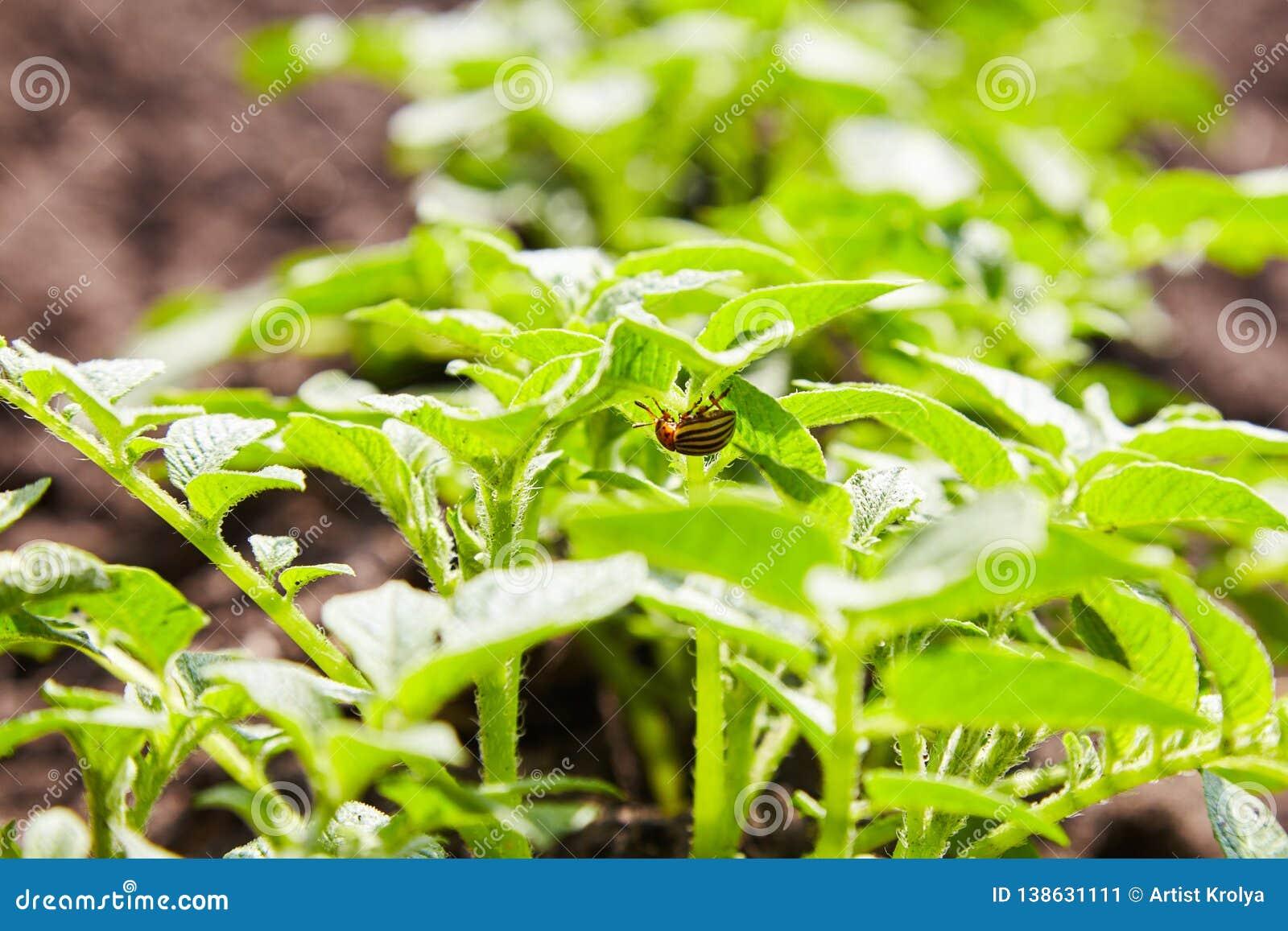 Kolorado ściga chuje pod kartoflanym liściem Kolorado gruli Pasiasta ściga