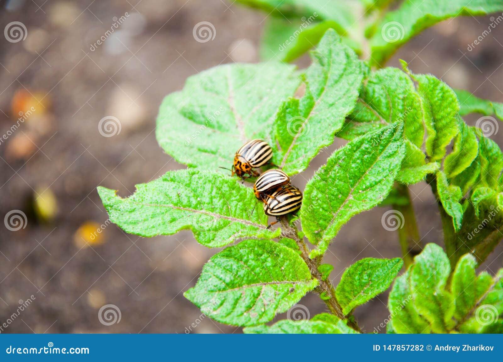 Kolorado ścigi siedzą na jaskrawym - zielona roślina