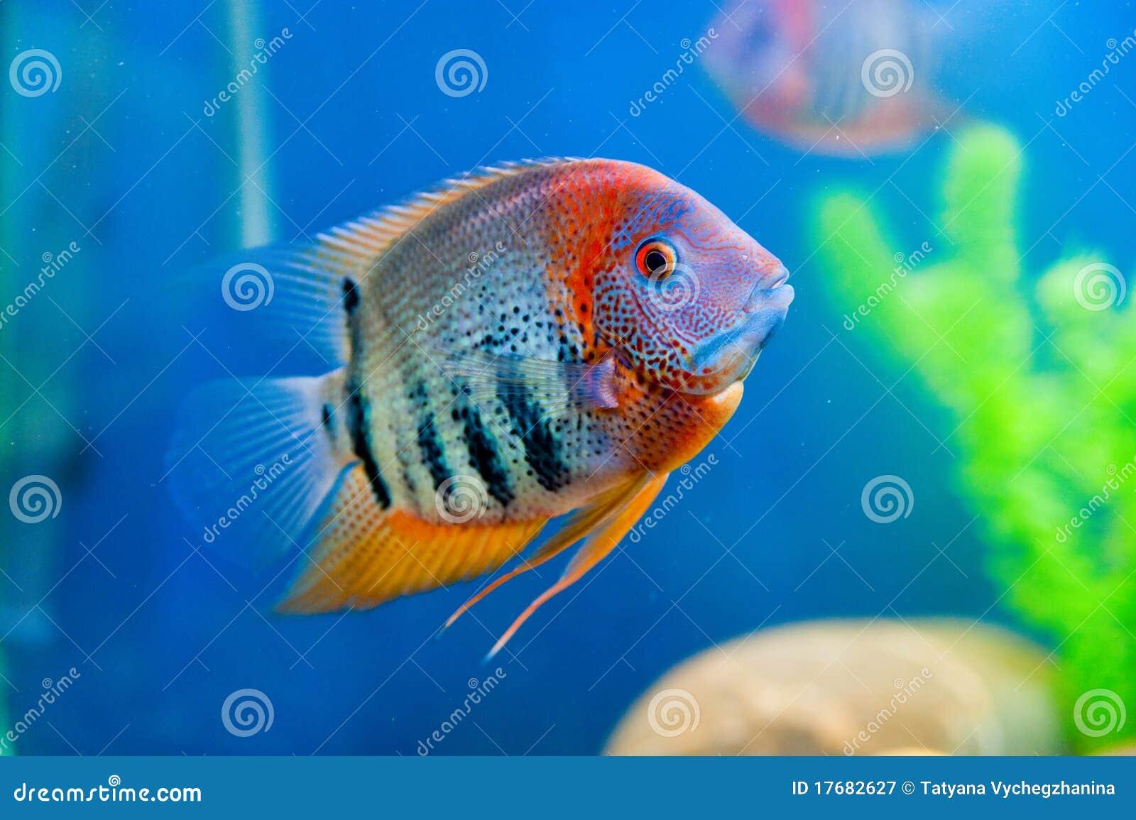 Kolorowa akwarium ryba