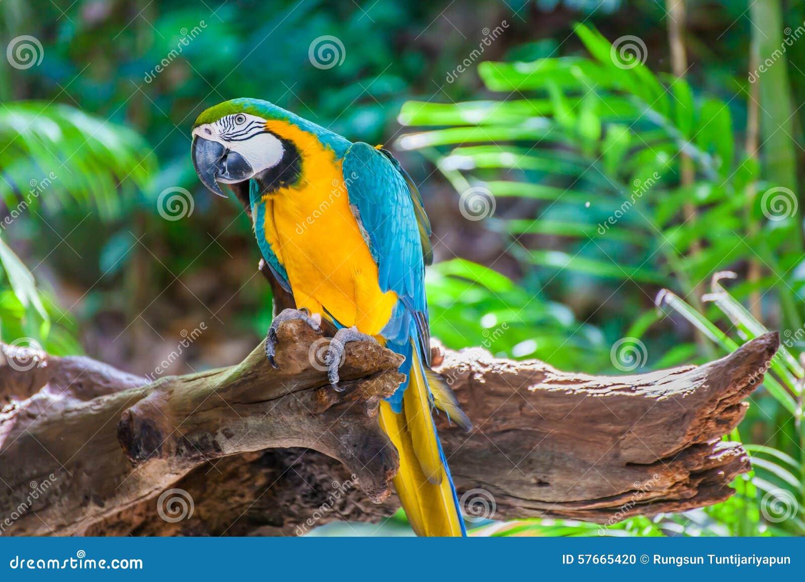 Kolorowa ara