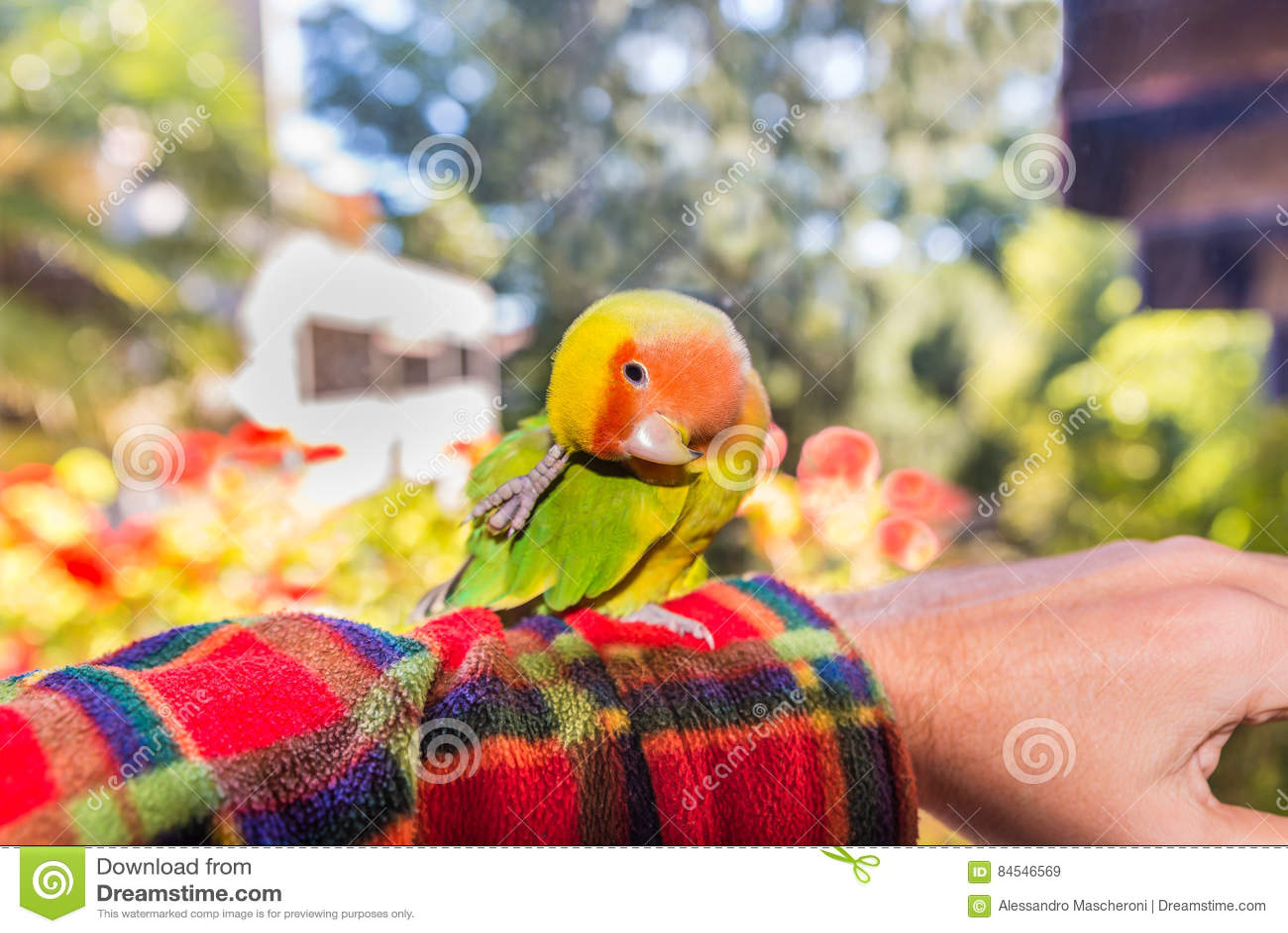 Kolorowa Lovebird papuga - Agapornis roseicollis