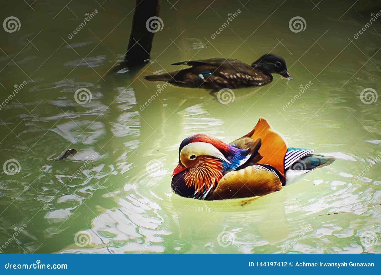 Kolorowa mandaryn kaczka z jego szturmanem, pływa na stawie Ragunan zoo, Dżakarta, Indonezja