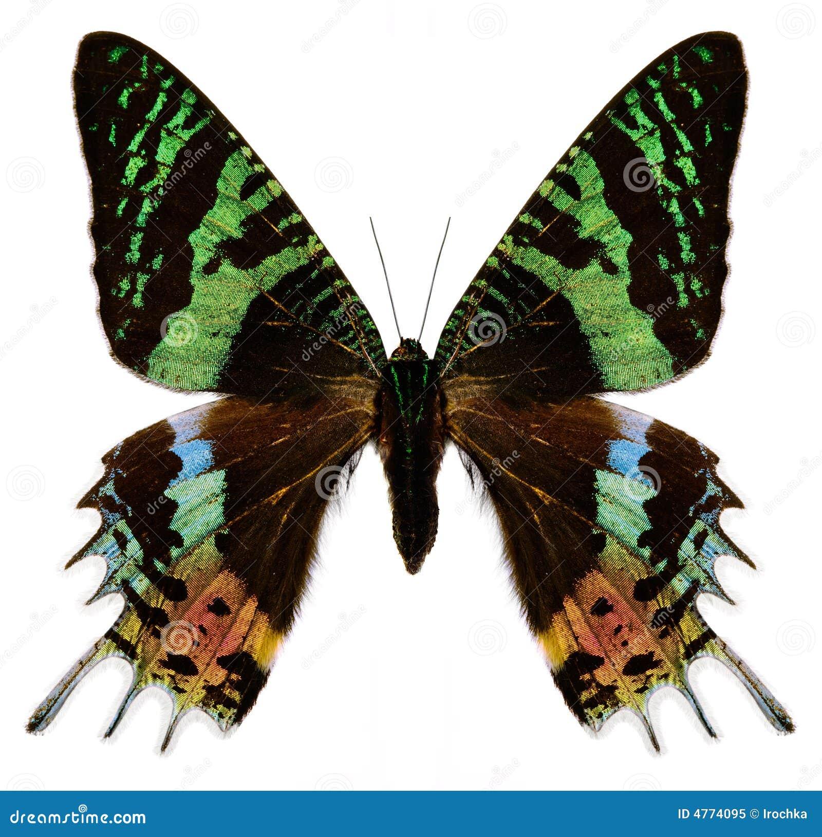Kolorowe białego motyla