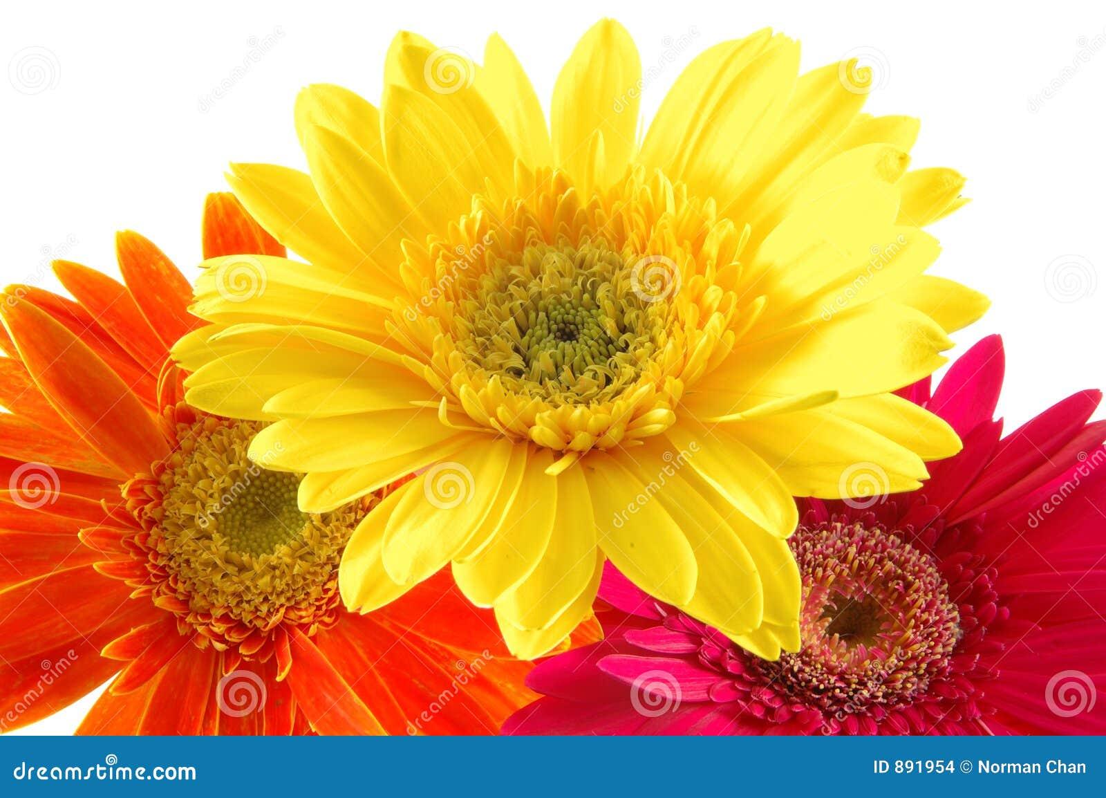 Kolorowe daisy gerber