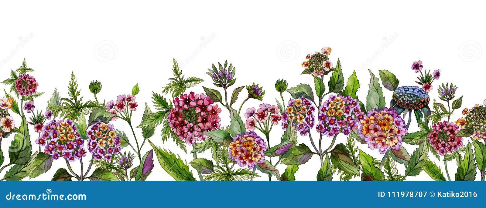 Kolorowego lata szeroki sztandar Piękny lantana kwitnie z zielonymi liśćmi na białym tle Horyzontalny szablon