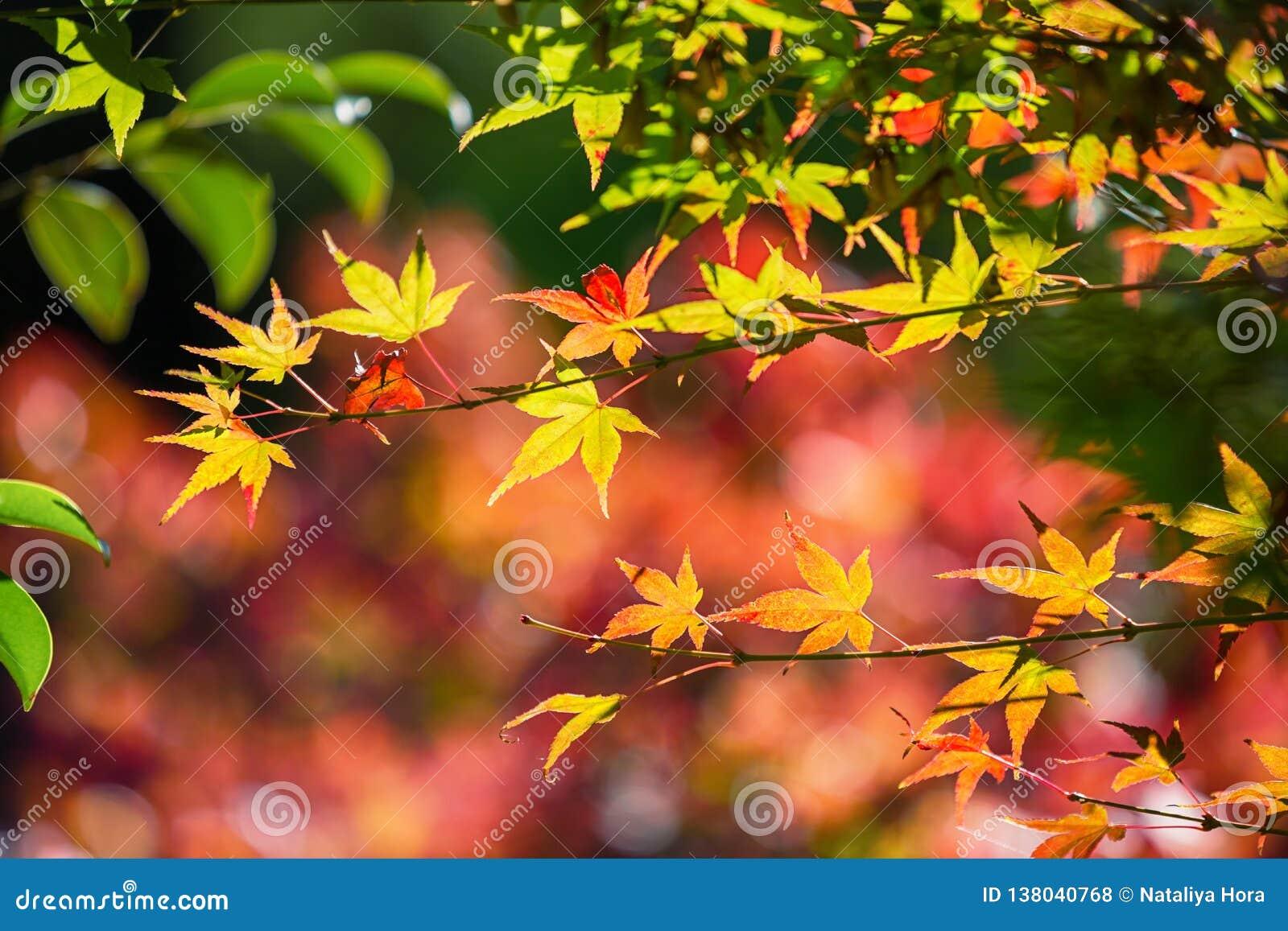 Kolorowi japońscy liście klonowi podczas momiji sezonu przy Kinkakuji ogródem, Kyoto, Japonia