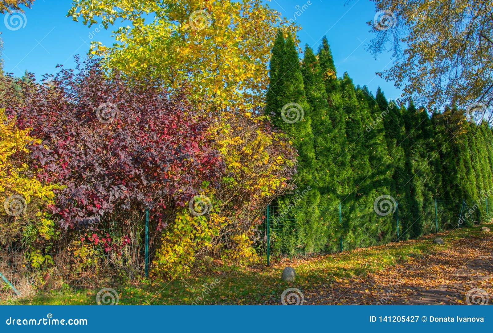 Kolorowi spadków krzaki i zielone tuje który r wokoło ogrodzenia jak żywopłot