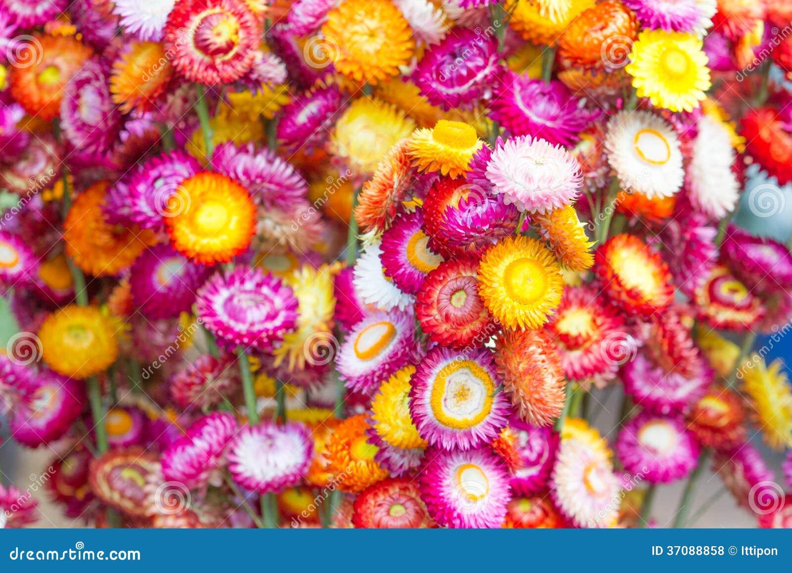 Download Kolorowi strawflowers zdjęcie stock. Obraz złożonej z świeżość - 37088858