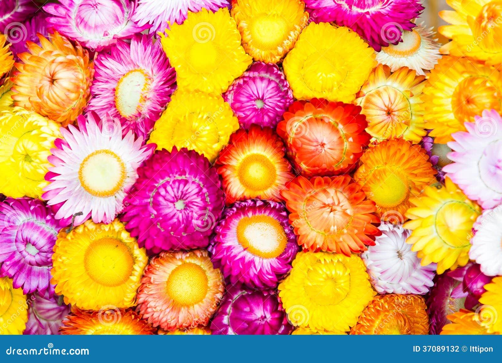 Download Kolorowi strawflowers zdjęcie stock. Obraz złożonej z owocolistek - 37089132