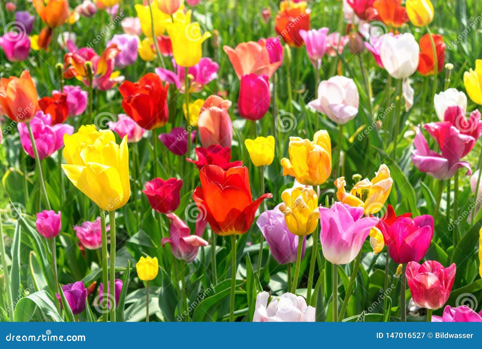 Kolorowi tulipany w parku - wiosna krajobraz