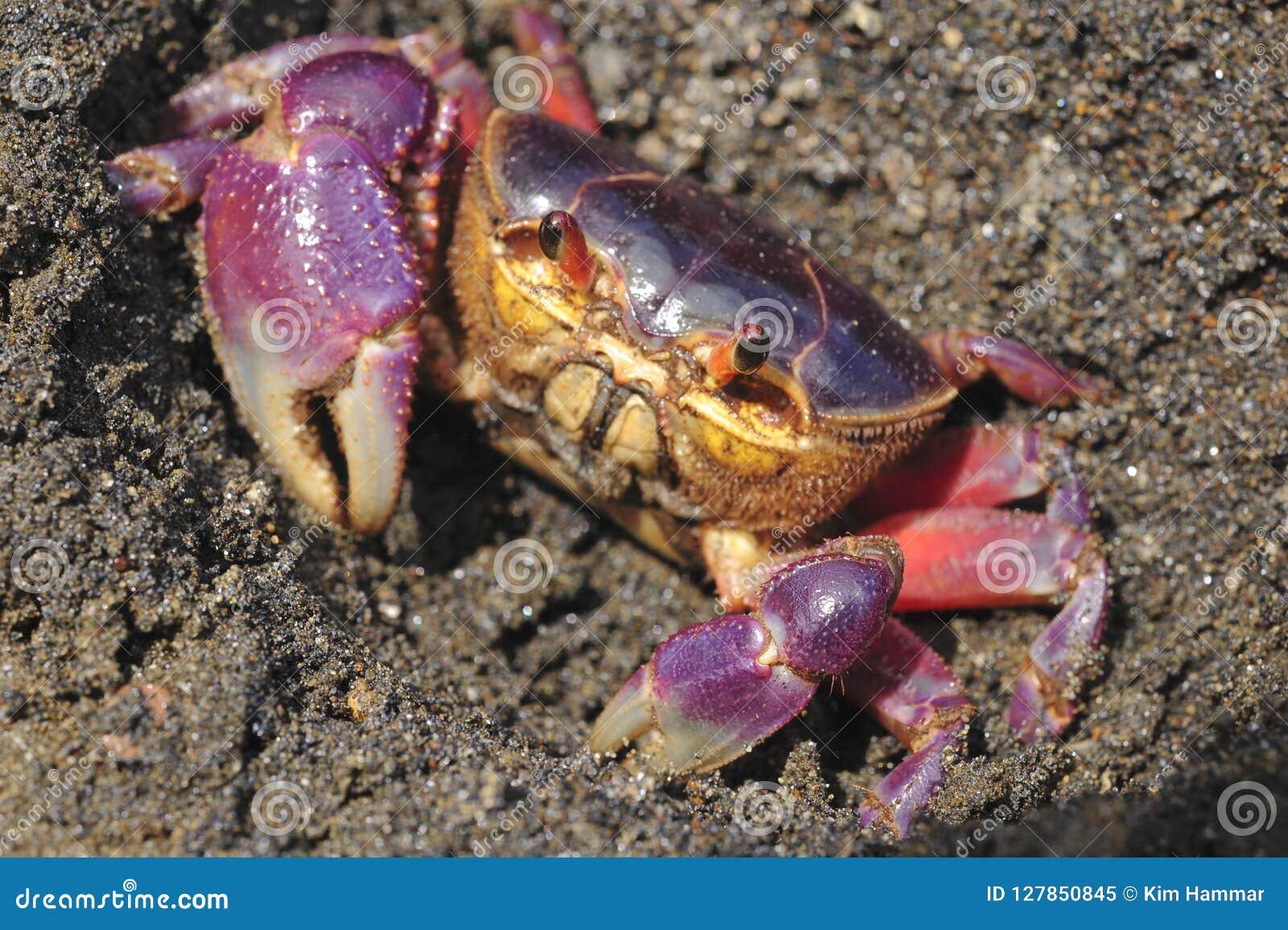 Kolorowy gruntowego kraba Gecarcinus quadratus, także znać jako Halloween krab, robi swój sposobowi wzdłuż Paloma w Costa Rica Wy