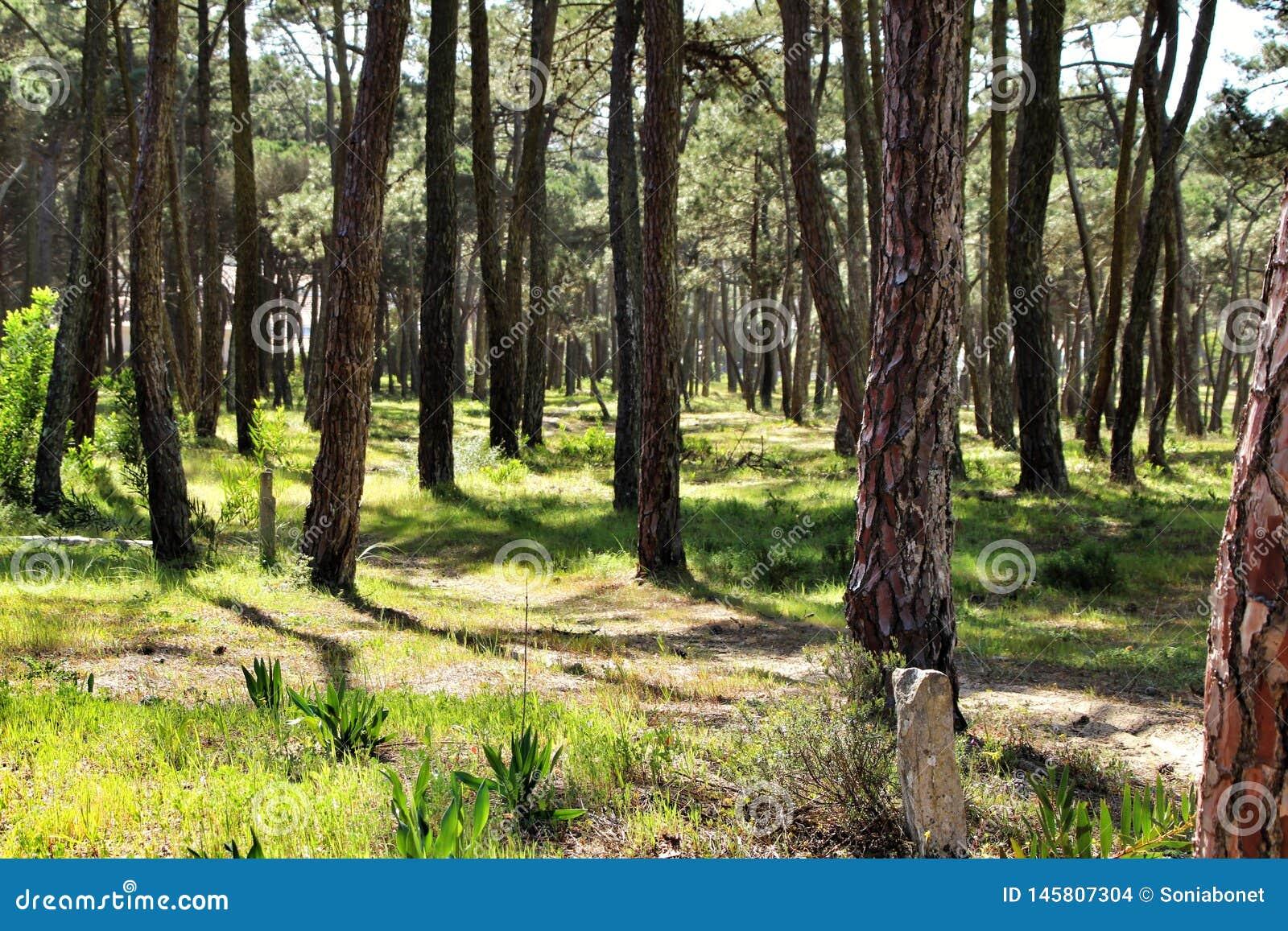 Kolorowy i obfitolistny sosnowy las w g?rze