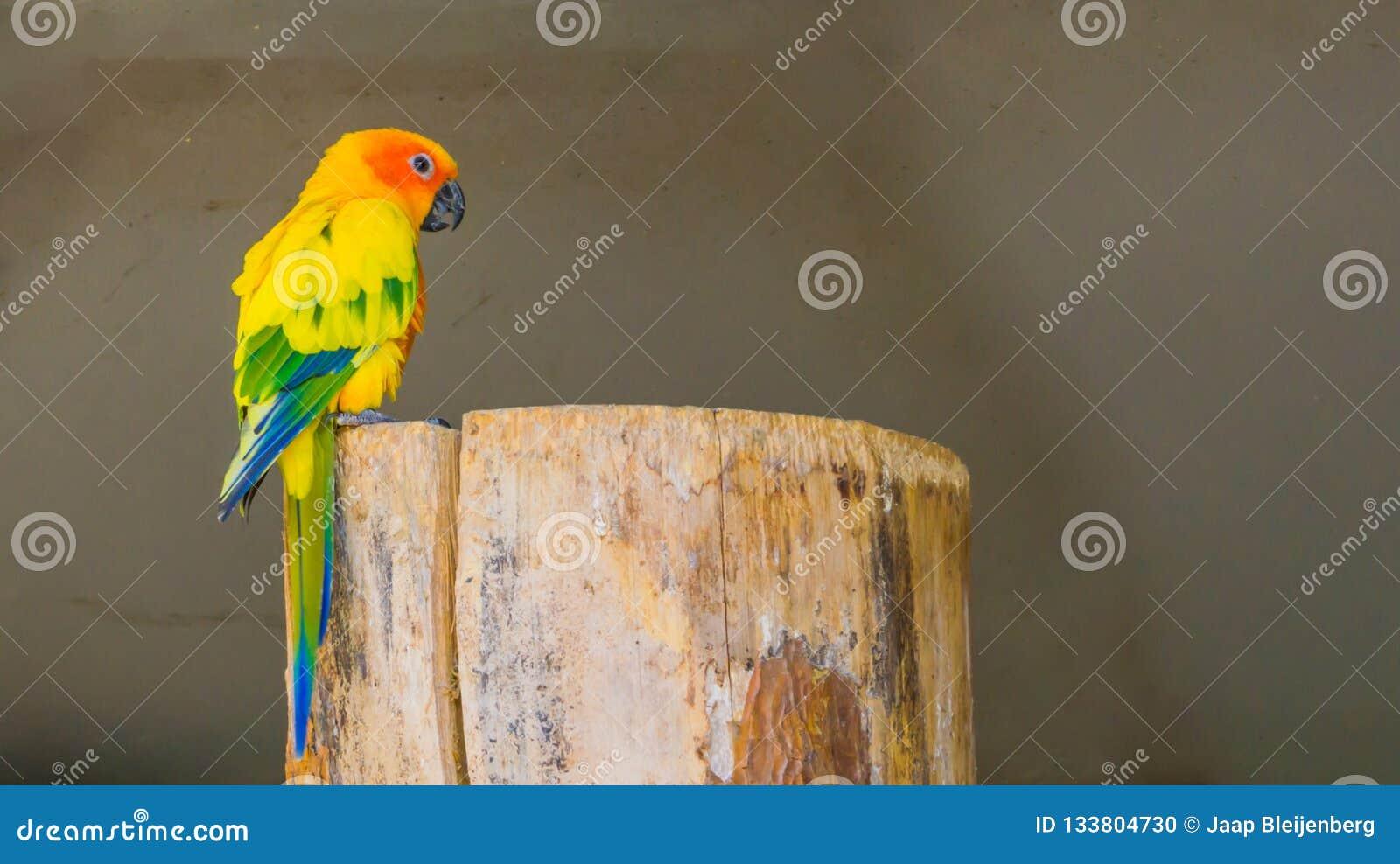 Kolorowy jandaya parakeet obsiadanie na drzewnym fiszorku w zbliżeniu