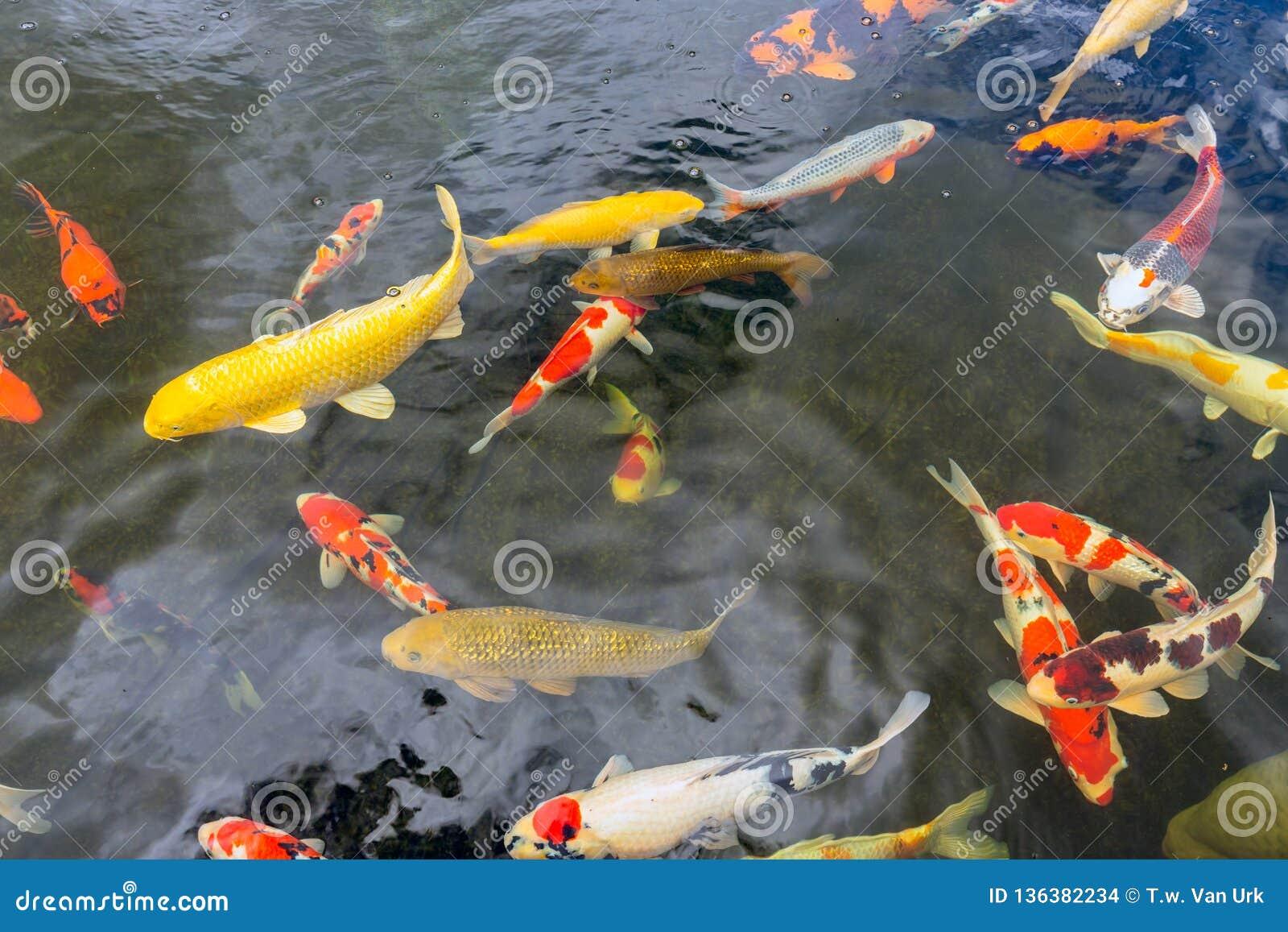 Kolorowy koi ryby dopłynięcie w stawie rybołówstwo