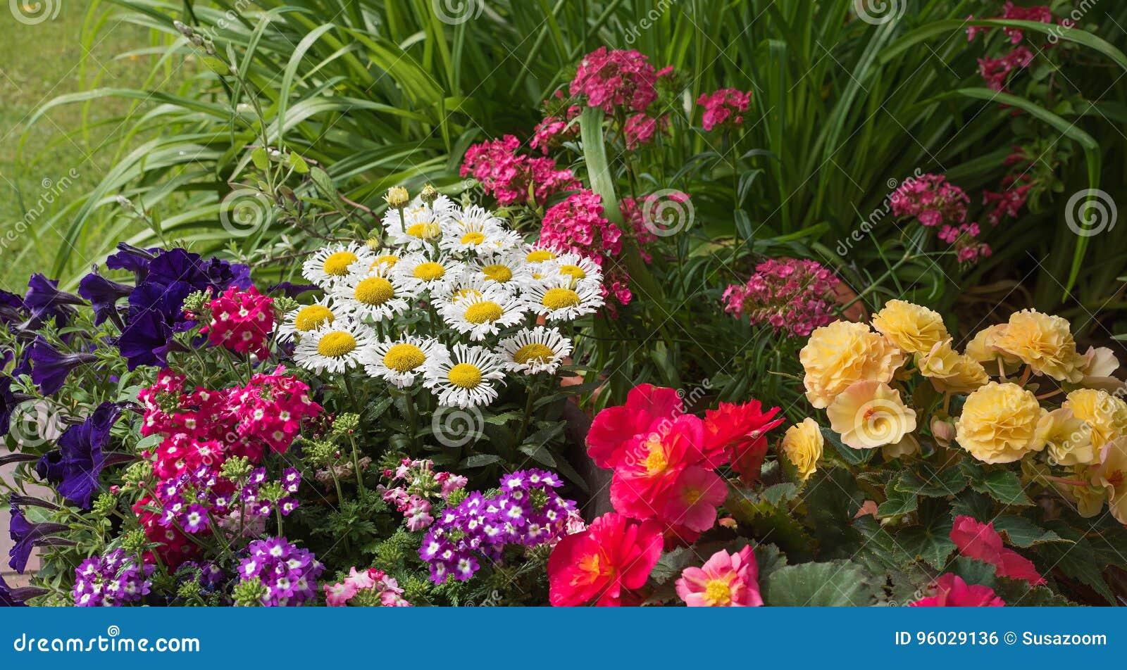 Kolorowy lato kwitnie w ogródzie z begoni vervein i petuniami