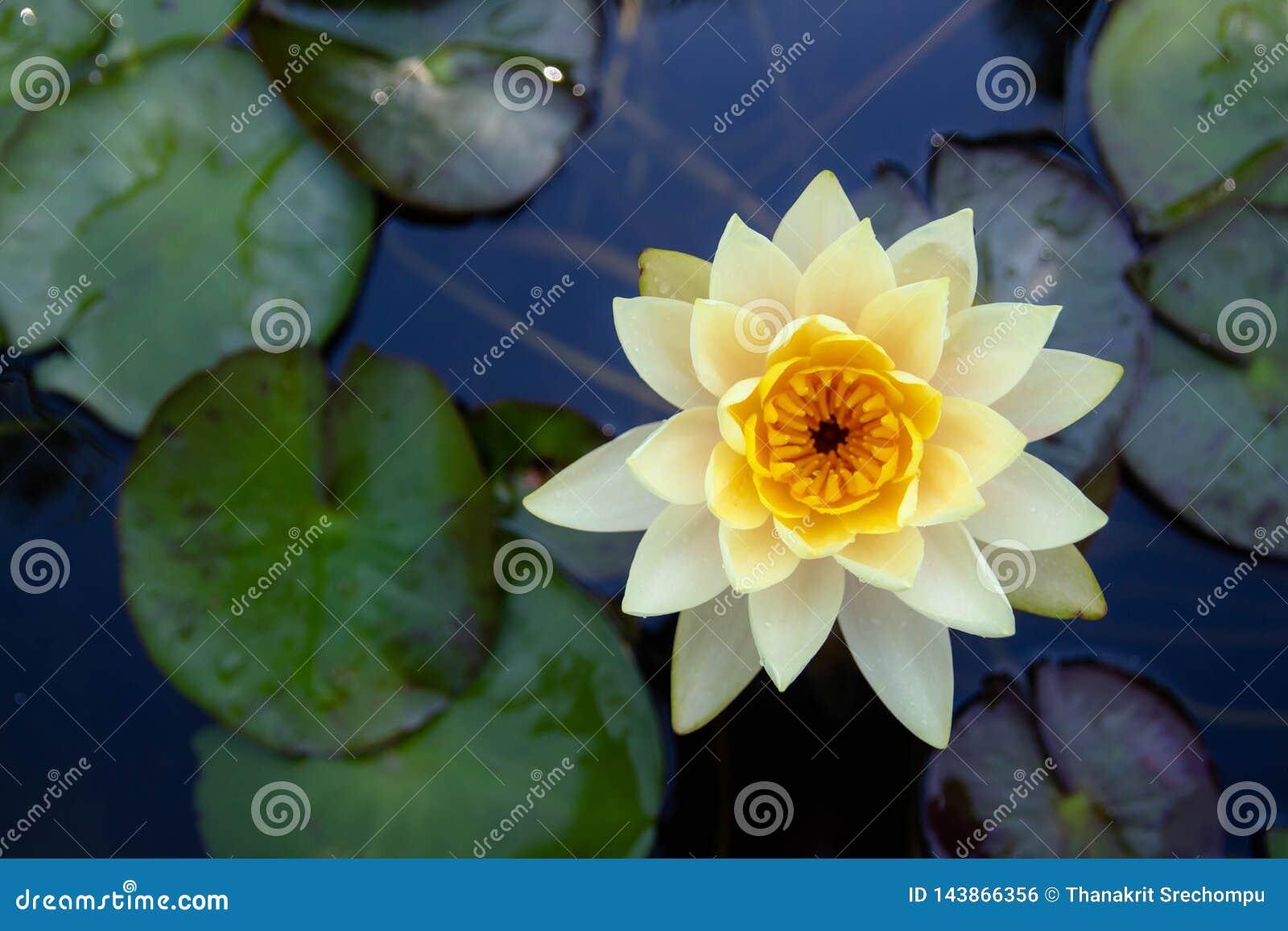 Kolorowy lotosowych kwiatów kwiat w ranku