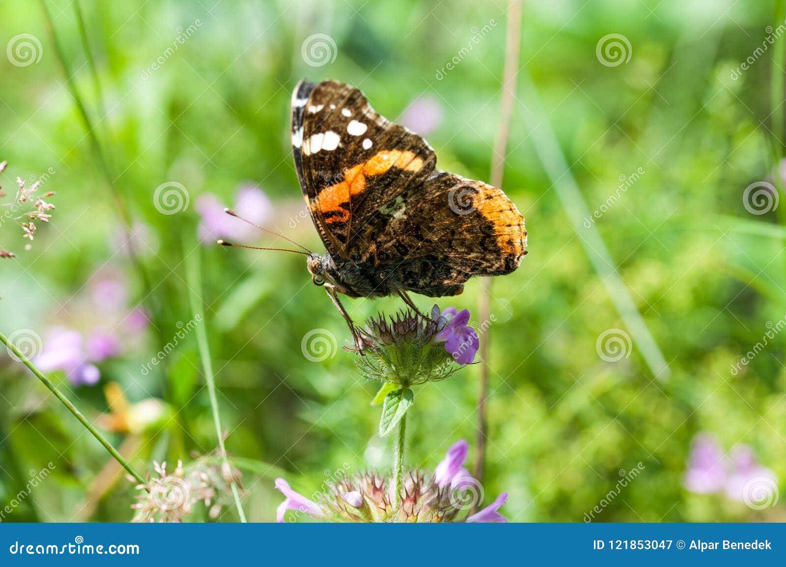 Kolorowy motyl na Transyvanian zieleni nietkniętych polach