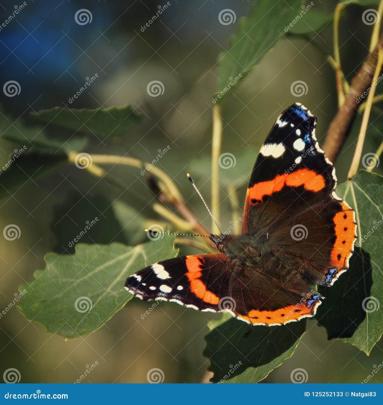 Kolorowy motyli vanessa atalanta