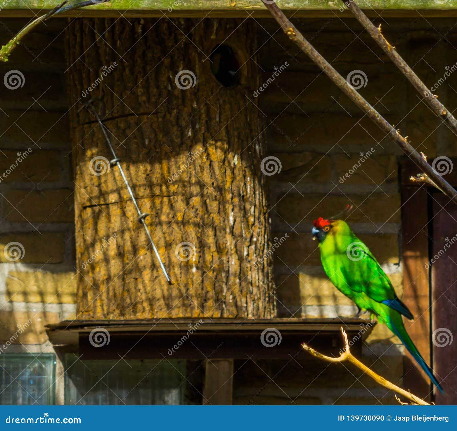 Kolorowy rogaty parakeet obsiadanie przy swój ptasim domem, papuga od nowego caledonia, zagrażał ptasiego specie z podatnym statu